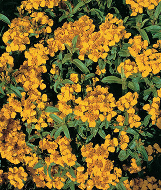 Sweet Marigold, Licorice, , large